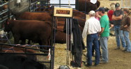 Agriculture - Up to ten beef breed shows show at the annual Olds Fall Classic each October, including Black Angus, Charolais, Gelbvieh, Hereford, Limousin, Maine Anjou, Red Angus, Salers, Shorthorn and Simmental, a showcase of top quality cattle from the industry's leading seedstock breeders.